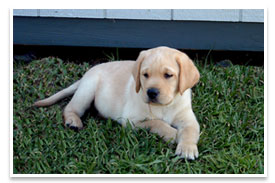 labrador retriever puppy in the grass