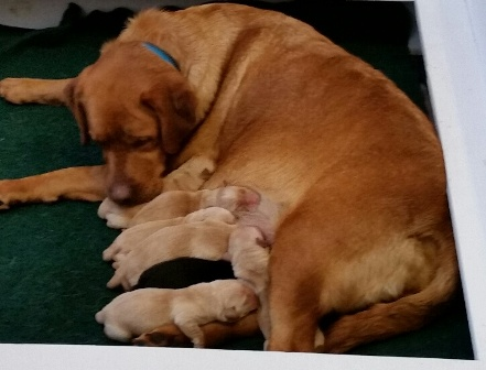 cali and her labrador puppies