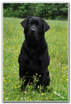 male labrador dog